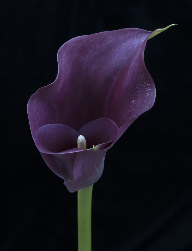 Image of a purple lily